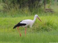 White Stork 1097119