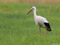 White Stork 1121115