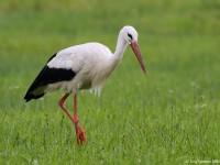 White Stork 1125114