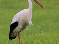 White Stork 1129113