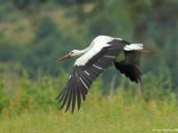 White Stork 1141111