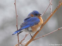 eastern-bluebird-22303937
