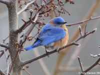 eastern-bluebird-22323938