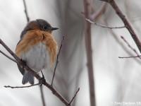 eastern-bluebird-22403941