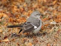 mocking-bird-25393963