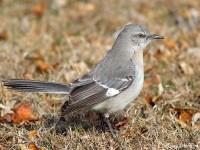 mocking-bird-25633964