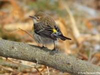 myrtle-warbler-23333945