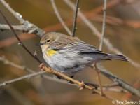 myrtle-warbler-28373908