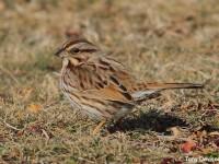 song-sparrow-28463909