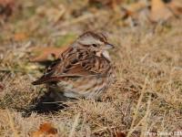 song-sparrow-28593910