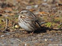 song-sparrow-30433919