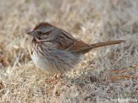 song-sparrow-36743887
