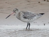 Bar Tailed Godwit_J4X3587
