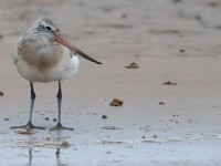 Bar Tailed Godwit_J4X3601