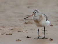 Bar-tailed godwit_J4X3612