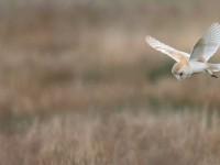 Barn Owl_J4X3245