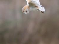 Barn Owl_J4X3248