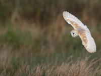 Barn Owl_J4X3255