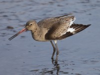 Black-tailed Godwit 3044992