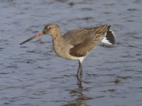 Black-tailed Godwit 3052993