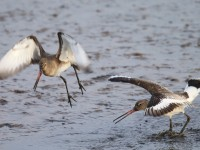 Black-tailed Godwits 3038991