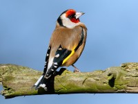 Goldfinch_J4X2979