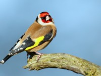 Goldfinch_J4X3025