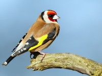 Goldfinch_J4X3026
