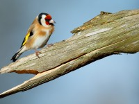 Goldfinch_J4X3040