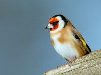 Goldfinch_J4X3044