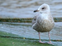 Herring Gull 1463922