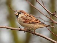 House Sparrow_S1Q1699