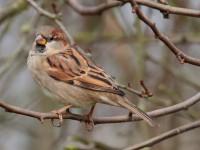 House Sparrow_S1Q1772