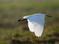 Little Egret_J4X3641
