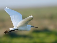 Little Egret_J4X3651