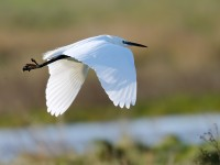 Little Egret_J4X3654