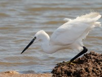 Little Egret_J4X9627