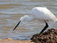 Little Egret_J4X9632