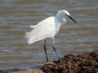 Little Egret_J4X9643