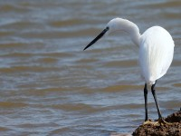 Little Egret_J4X9650