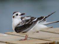 Little Gull Juv_J4X1340