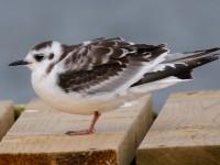 Little Gull Juv_J4X1355