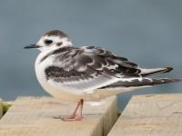 Little Gull Juv_J4X1402