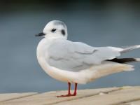 Little Gull_J4X1374