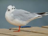 Little Gull_J4X1457
