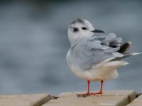 Little Gull_J4X1544