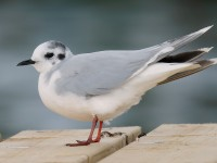 Little Gull_J4X1557