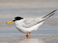 Little Tern _J4X8346