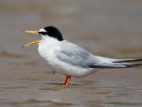 Little Tern_J4X8914