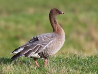 Pink-footed Goose 3192999
